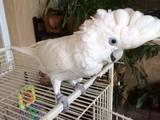 Папуги й птахи Папуги, ціна 3500 Грн., Фото