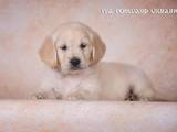 Собаки, щенята Золотистий ретрівер, ціна 12500 Грн., Фото