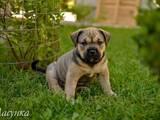Собаки, щенята Мальоркскій бульдог (Ка Де Бо), ціна 15300 Грн., Фото
