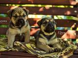 Собаки, щенки Мальоркский бульдог (Ка Де Бо), цена 15300 Грн., Фото