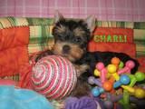 Собаки, щенки Йоркширский терьер, цена 3800 Грн., Фото