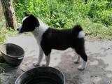 Собаки, щенята Російсько-Європейська лайка, ціна 1000 Грн., Фото