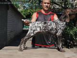 Собаки, щенята Німецька гладкошерста лягава, ціна 7500 Грн., Фото