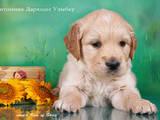 Собаки, щенята Золотистий ретрівер, ціна 10000 Грн., Фото