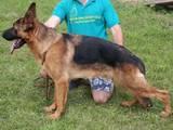 Собаки, щенята Німецька вівчарка, ціна 7900 Грн., Фото