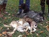 Собаки, щенята Німецька жорсткошерста лягава, ціна 6000 Грн., Фото
