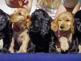 Собаки, щенята Англійський коккер, ціна 100 Грн., Фото