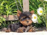 Собаки, щенки Йоркширский терьер, цена 4700 Грн., Фото