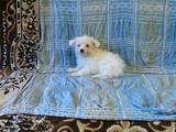 Собаки, щенята Мальтійська болонка, ціна 5500 Грн., Фото