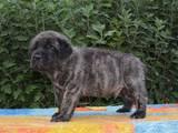 Собаки, щенята Англійська мастіф, ціна 40000 Грн., Фото