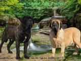 Собаки, щенки Английский мастиф, цена 40000 Грн., Фото