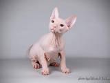 Кішки, кошенята Донський сфінкс, ціна 4900 Грн., Фото