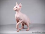 Кошки, котята Донской сфинкс, цена 4900 Грн., Фото