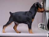 Собаки, щенята Карликовий пінчер, ціна 4500 Грн., Фото