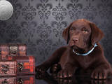 Собаки, щенята Лабрадор ретрівер, ціна 9000 Грн., Фото