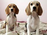 Собаки, щенята Бігль, ціна 9500 Грн., Фото