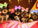 Собаки, щенки Йоркширский терьер, цена 4000 Грн., Фото