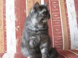 Кішки, кошенята Екзотична короткошерста, ціна 6500 Грн., Фото