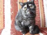 Кошки, котята Экзотическая короткошерстная, цена 6500 Грн., Фото