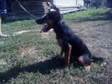 Собаки, щенята Ягдтер'єр, ціна 5 Грн., Фото