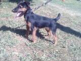 Собаки, щенки Ягдтерьер, цена 5 Грн., Фото
