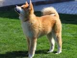 Собаки, щенята Акіта-іну, ціна 24999 Грн., Фото