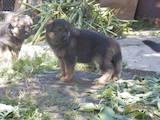 Собаки, щенята Німецька вівчарка, ціна 5000 Грн., Фото