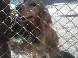 Собаки, щенята Англійський коккер, ціна 600 Грн., Фото