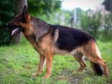 Собаки, щенки Немецкая овчарка, цена 6000 Грн., Фото
