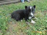 Собаки, щенки Русско-Европейская лайка, цена 1350 Грн., Фото