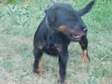 Собаки, щенята Ягдтер'єр, ціна 6 Грн., Фото