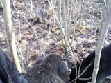 Собаки, щенки Русско-Европейская лайка, цена 10 Грн., Фото