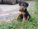 Собаки, щенки Вельштерьер, цена 2000 Грн., Фото