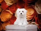 Собаки, щенята Мальтійська болонка, ціна 100000 Грн., Фото