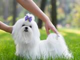 Собаки, щенки Мальтийская болонка, цена 75000 Грн., Фото