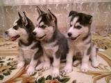 Собаки, щенята Сибірський хаськи, ціна 3200 Грн., Фото