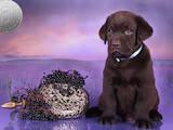 Собаки, щенята Лабрадор ретрівер, ціна 1000 Грн., Фото
