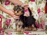 Собаки, щенята Йоркширський тер'єр, ціна 6000 Грн., Фото