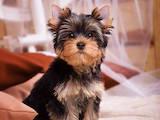 Собаки, щенки Йоркширский терьер, цена 40000 Грн., Фото