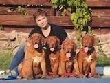 Собаки, щенята Бордоський дог, ціна 27000 Грн., Фото