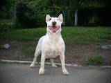 Собаки, щенята Бультер'єр, ціна 20000 Грн., Фото