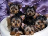 Собаки, щенята Йоркширський тер'єр, ціна 600 Грн., Фото