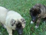 Собаки, щенки Кавказская овчарка, цена 4900 Грн., Фото