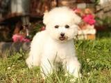 Собаки, щенки Бишон фрисе, цена 30000 Грн., Фото