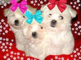 Собаки, щенки Мальтийская болонка, цена 10000 Грн., Фото