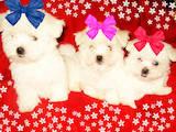 Собаки, щенята Мальтійська болонка, ціна 10000 Грн., Фото