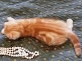 Кошки, котята Шотландская вислоухая, цена 2500 Грн., Фото