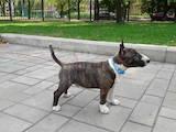 Собаки, щенки Миниатюрный бультерьер, цена 30000 Грн., Фото