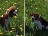 Собаки, щенята Бігль, Фото