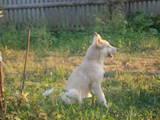 Собаки, щенки Русско-Европейская лайка, цена 3800 Грн., Фото